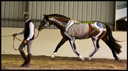 Painted Horse Anatomy